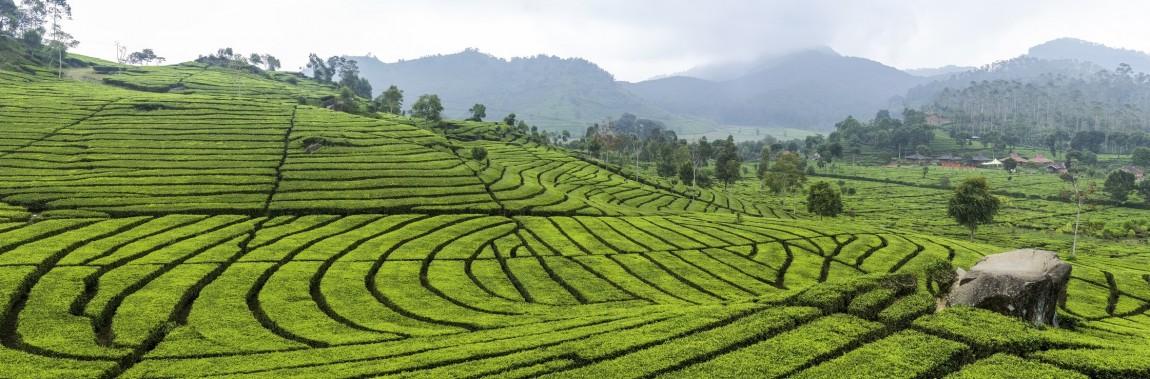 Tea plantation Bandung 6